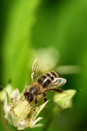 Close-up of a honey bee looking for pollen on a raspberry blossom against a green background in portrait format