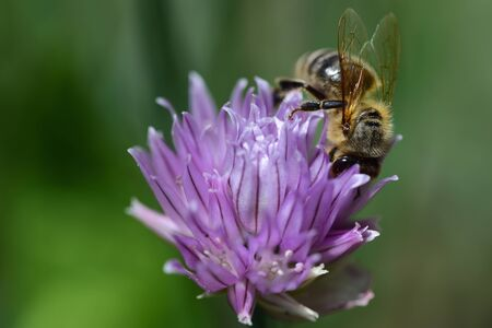 A bee searches for food in the flower of a chive plant against a green background with space for text