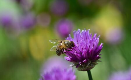 A bee searches for food in the flower of a chive plant in a colorful meadow with flowers