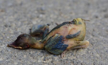 Close-up of a young, immature bird that has fallen out of its nest and has died