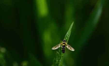 A small yellow and black striped hoverfly sits against a green background on a blade of grass in nature and is photographed from above
