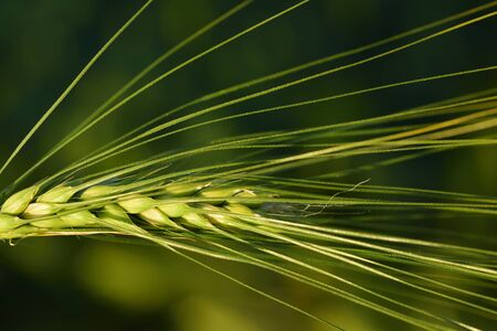 Close up and green background with an immature grain of wheat Stok Fotoğraf