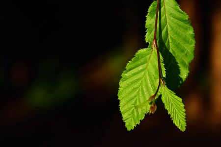 Green leaves of the beech tree hang down against the side of the picture against a dark background