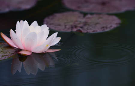 A white water lily floats on a pond when it rains