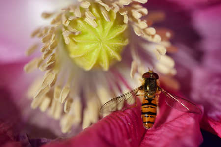 a small striped hoverfly looks for pollen on a poppy flower