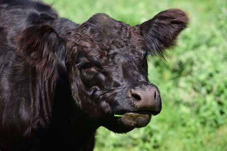A young black Angus cattle stands on a pasture and looks into the camera