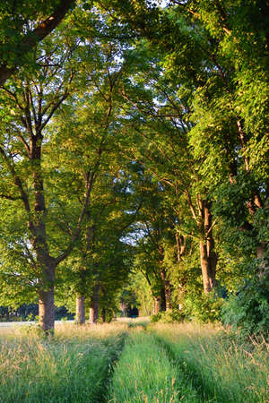 An avenue of trees is on the side of a meadow path in the green, in portrait format
