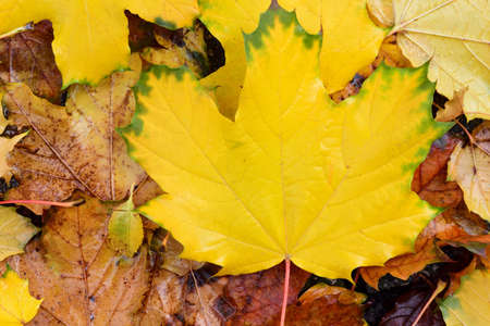 Close up and texture of wet colorful autumn leaves lying on the ground