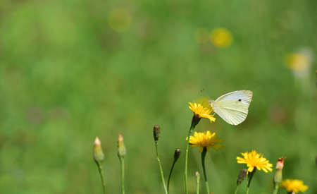 A white butterfly, a cabbage white butterfly, sits in a meadow with wild flowers in summer, with space for text