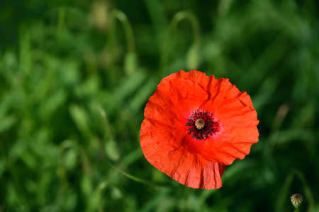 Blooming poppy on the meadow in summer, in front of green grass Stockfoto