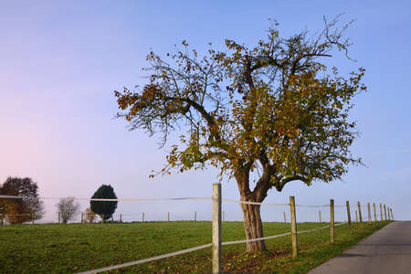 In autumn, when the morning fog is mist, a crooked fruit tree stands in the field behind an electric fence Standard-Bild