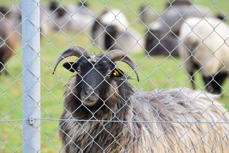 """A hairy sheep with horns, a so-called """"Heidschnucke"""", stands behind a chain link fence in a pasture"""