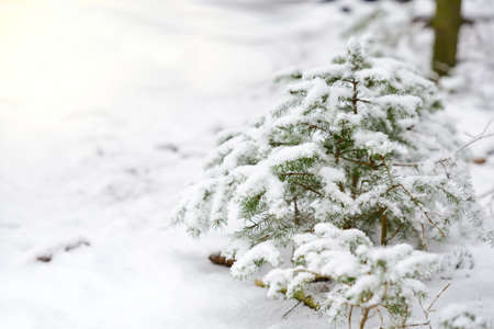 In winter a small young spruce stands on the edge of the forest and is covered with snow