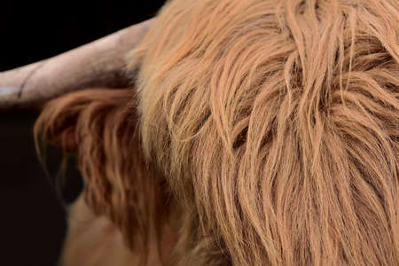 Detail of the hairy brown skull of a Scottish highland cattle, a Galloway, with long fur
