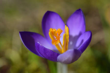 In spring, purple crocus with yellow pollen grows in a meadow