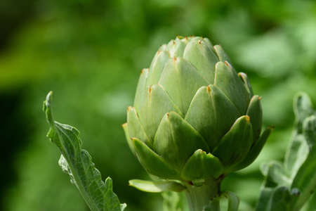 Close up of an artichoke plant in the countryside with one bud, in the garden