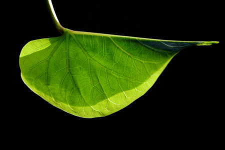 Close-up of a green leaf against a dark background in the backlight. You can see the veins and grain Zdjęcie Seryjne
