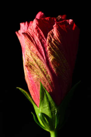 Close up of a closed red hibiscus flower growing in portrait format against a dark background Zdjęcie Seryjne