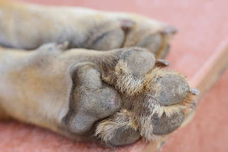 Close up of dog paws lying side by side, from below, with pads and hair in between