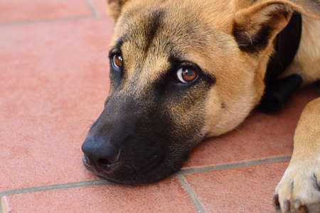 Close up and portrait of a young brown dog that has rested its head on tiles and is looking up at the camera