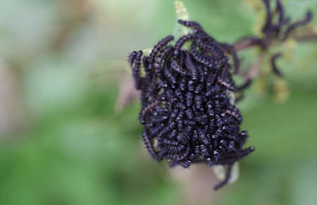 Many small black caterpillars of the genus Aglais have just hatched and lie close together Zdjęcie Seryjne