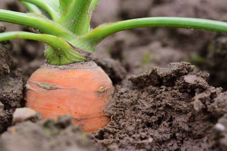 Close up of a ripe carrot with green growing in the moist soil in the garden Zdjęcie Seryjne
