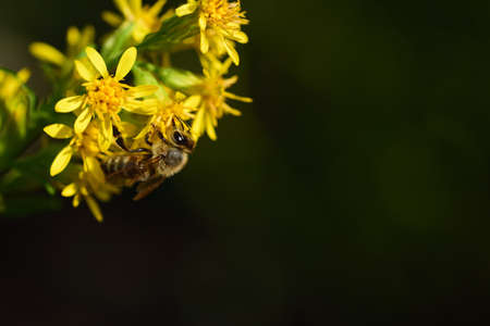 In front of a dark background, a small honey bee hangs on the side of the picture, on yellow blooming wild flowers
