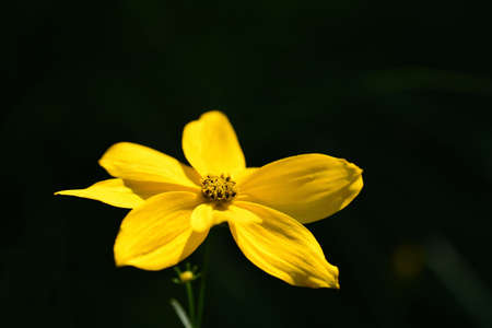 Close up of a yellow flower, coreopsis or maiden's eye blooming against a dark background Zdjęcie Seryjne