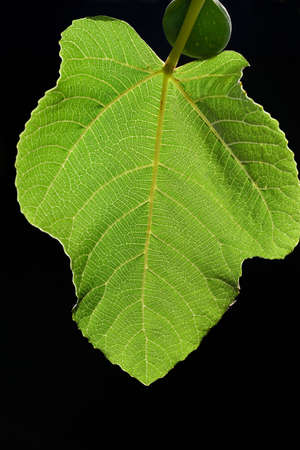 Close-up of a green fig leaf with the sun shining through it against a dark background