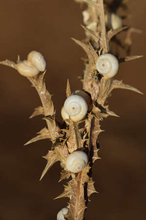 Close-up of a dry prickly plant with many white snails sitting in their snail shells