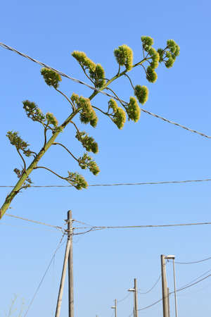 The yellow flower of an agave grows between many power cables in the blue sky