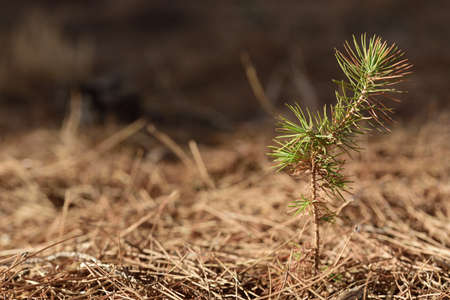 A small young pine tree grows as a delicate plant out of the dry ground, against a brown background, in nature, with space for text