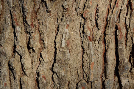 Close-up, detailed view and background of a rough bark of a pine tree