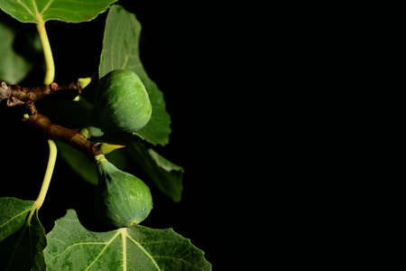 In front of a dark background, with space for text, a branch of a fig tree grows from the side, with leaves and green figs on it