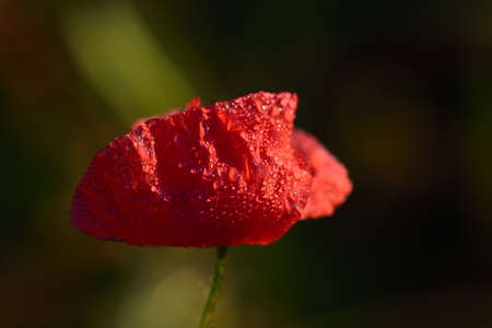 a small red poppy flower against a dark background with water droplets shimmers in the pale light