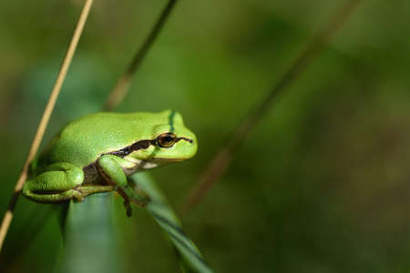A small green tree frog sits hidden between the grass in a meadow and there on a branch
