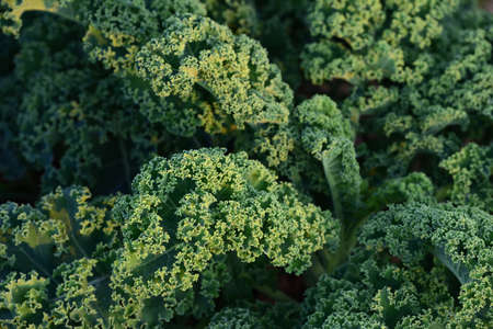 Close up of fresh kale growing in the field