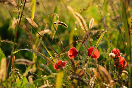 In autumn in the morning the last poppy blossoms grow on a meadow with wild grasses and the sun shines on them so that the dewdrops shine