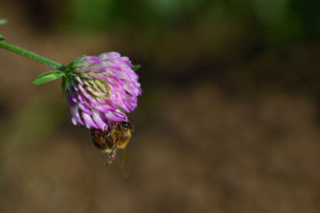 A small honey bee hangs on the blossom of a wild clover, against a brown background, and searches for nectar Zdjęcie Seryjne