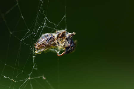 A bee is trapped in the cobweb and woven into the web by the spider, against a green background Zdjęcie Seryjne