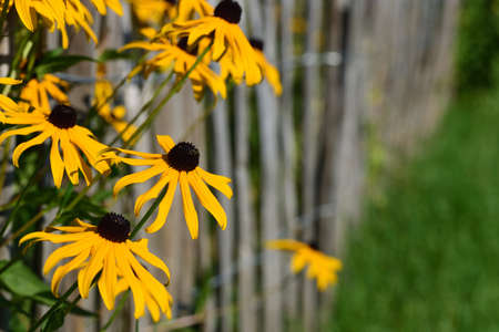 Yellow flowers in summer grow from the side next to a wooden fence in the picture Zdjęcie Seryjne