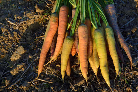 A bunch of freshly harvested, differently colored carrots lie on fresh earth in the field in the evening sun Zdjęcie Seryjne