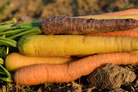 Close up of freshly harvested different colored carrots lying in the field