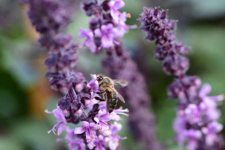 a small honey bee hangs on the purple flowers of a mint plant looking for nectar