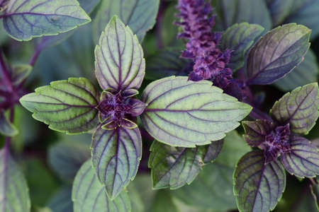 Green mint leaves on the plant are photographed from above and, together with the purple flowers, form a background Zdjęcie Seryjne