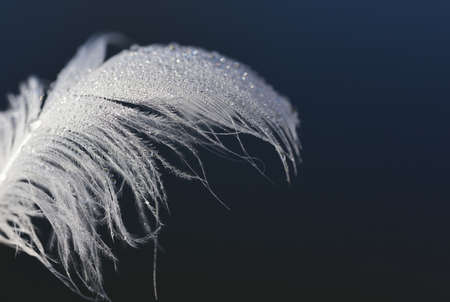Close up of a fluffy white swan feather that is wet and against a dark blue background