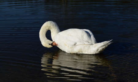 A multi-feathered white swan swims in dark water with its neck bent down Zdjęcie Seryjne