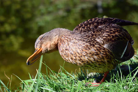 Portrait and close-up of a young brown duck, which turns its head on its side and dislocates in front of a green background, by a body of water Zdjęcie Seryjne
