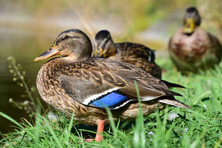 A male wild duck sits in front of other ducks in the sun on a green meadow at the edge of a body of water
