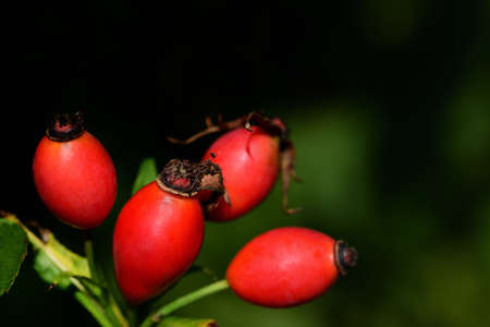 Close up of red, ripe rose hips growing in nature in autumn against a dark and green background